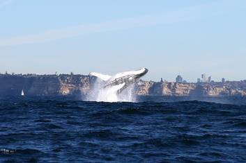 Whale Watching Sydney Harbour PM
